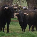 Bull Madrid
