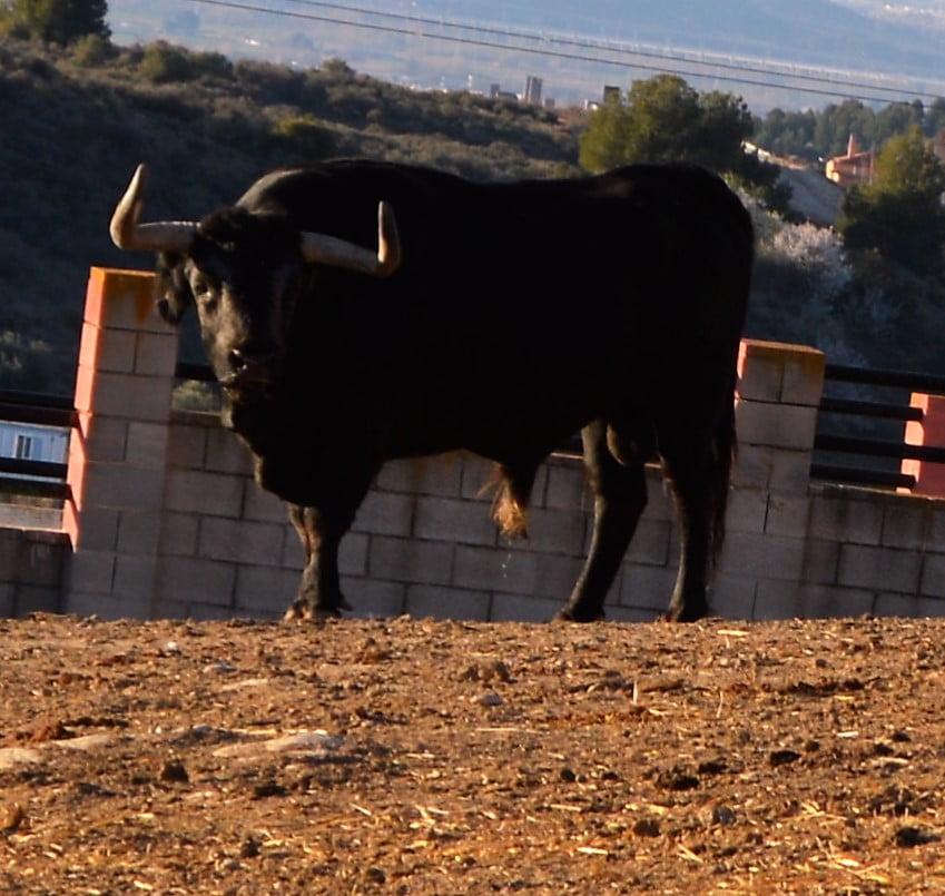 Tour to watch bullfighting bulls