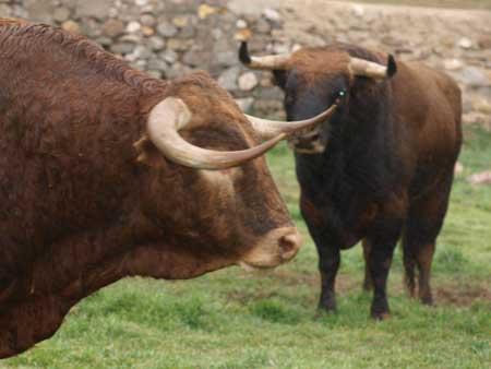 Watch bull Madrid