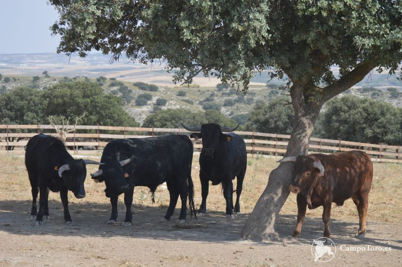 brave bulls Madrid