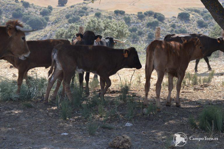 ganadería brava en Madrid