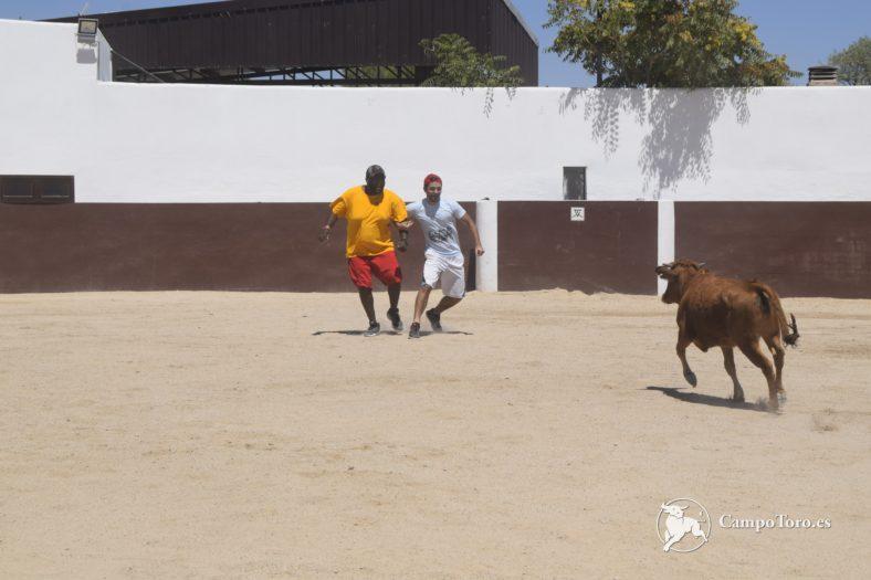 baby bull running prices