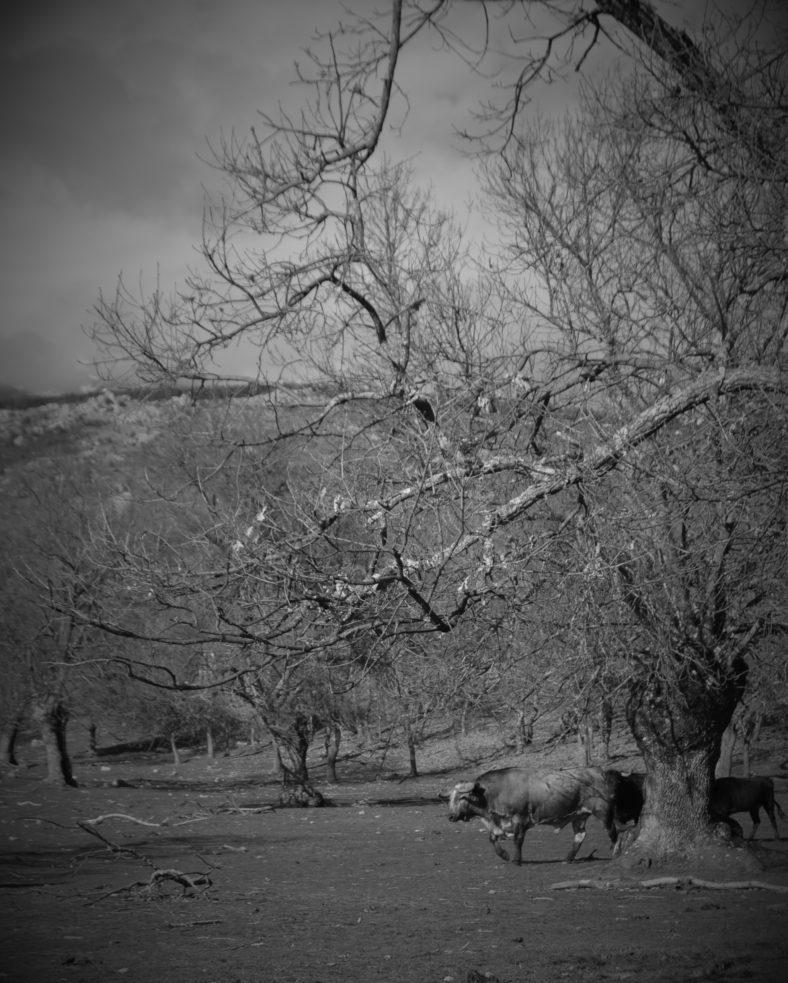 Bullfight nature