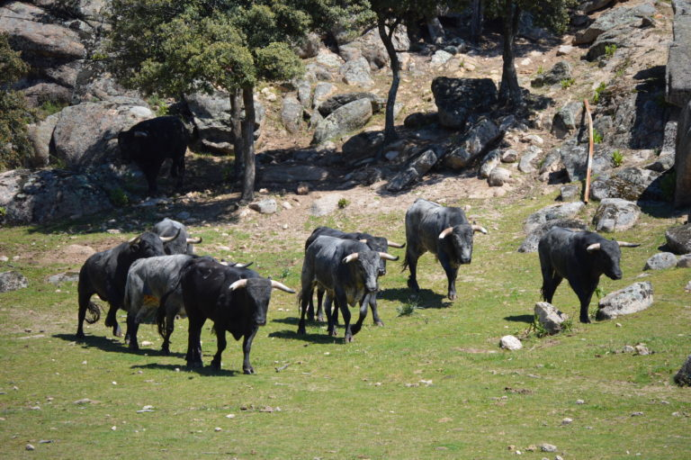 Bullfight bull Madrid